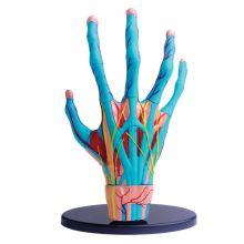 Anatomimodel - Hånd med muskler og sener