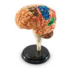 Anatomimodel - Hjerne